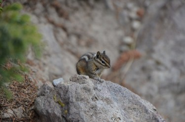 Chipmunk at Firehole swimming area was getting plenty of dropped cracker crumbs and such from people who had been picnicking.