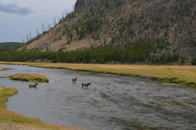 Elk crossing the Firehole river near Madison