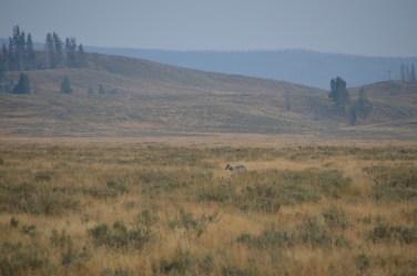 YellowstoneAnimal_006