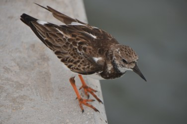 Shorebird hanging out on the pier.