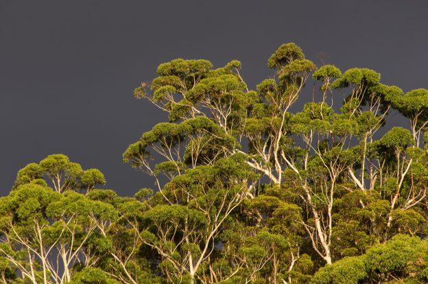 gum-trees-1164159