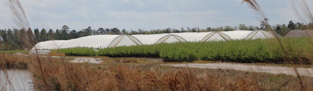 Hoop houses overlook outdoor varieties