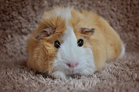 Guinea pig, rosette, cream-white on a brownish rug