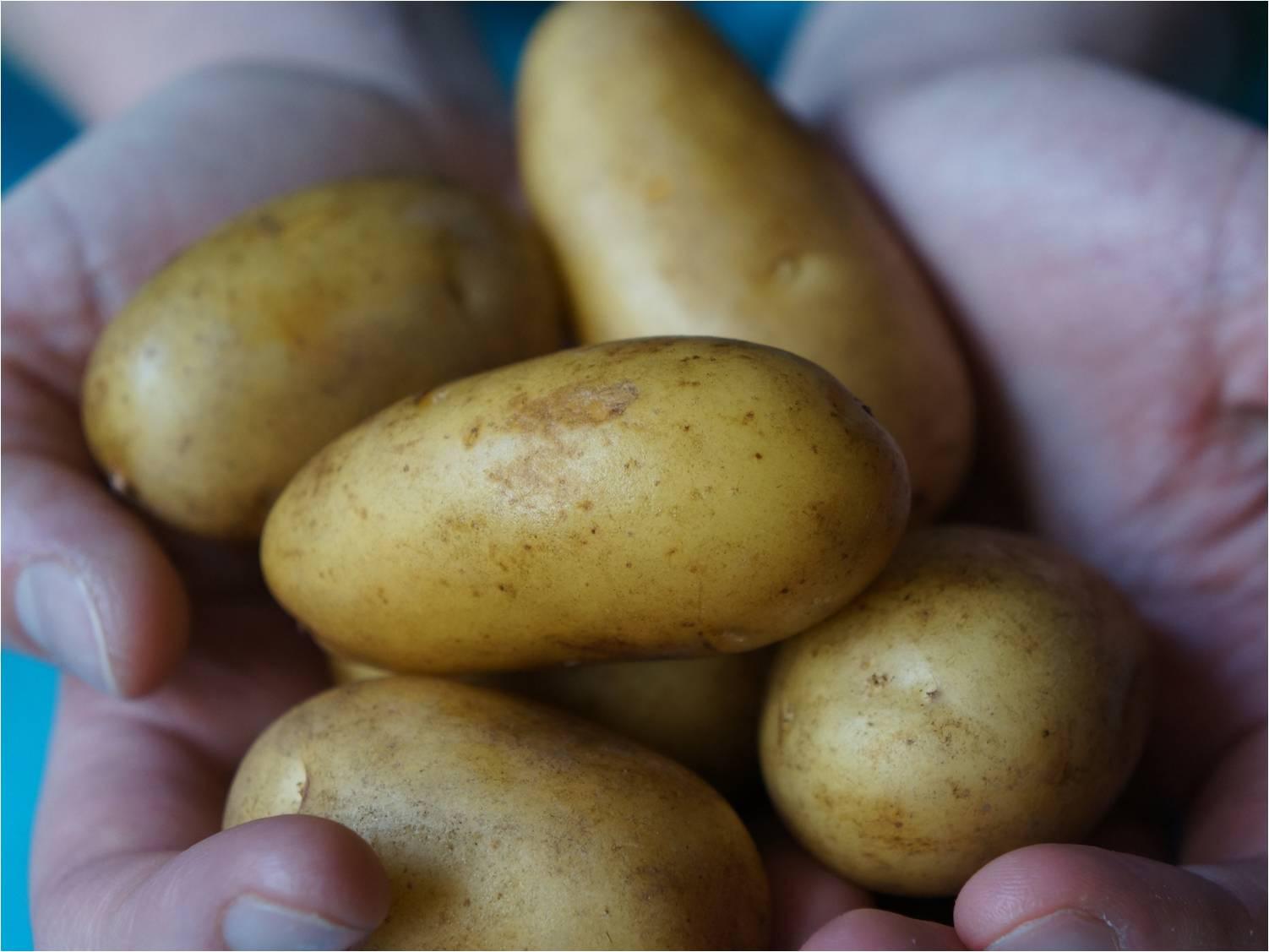 Salt Tolerant Potato - MetaMeta