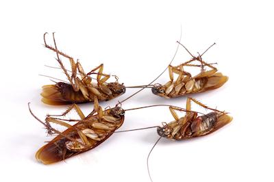 four dead cockroaches