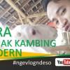 Cara Budidaya Ternak Kambing Domba Modern Menguntungkan