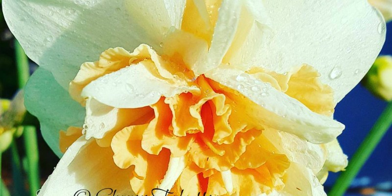 Aromatic Blends for Spring: Photo Copyright Sharon Falsetto All Rights Reserved