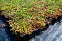 Buying Sedum