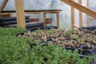 sedum growing ready for Green Roofs