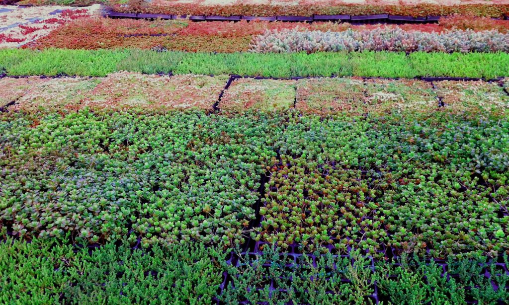 Buying Sedum Sedum Green Roof