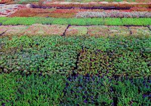 sedum_fields.Trays and mats of Sedum ready for Green Roofs
