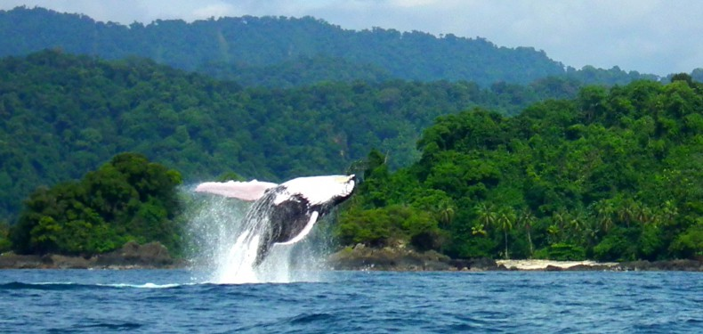 humpback whales choco colombia