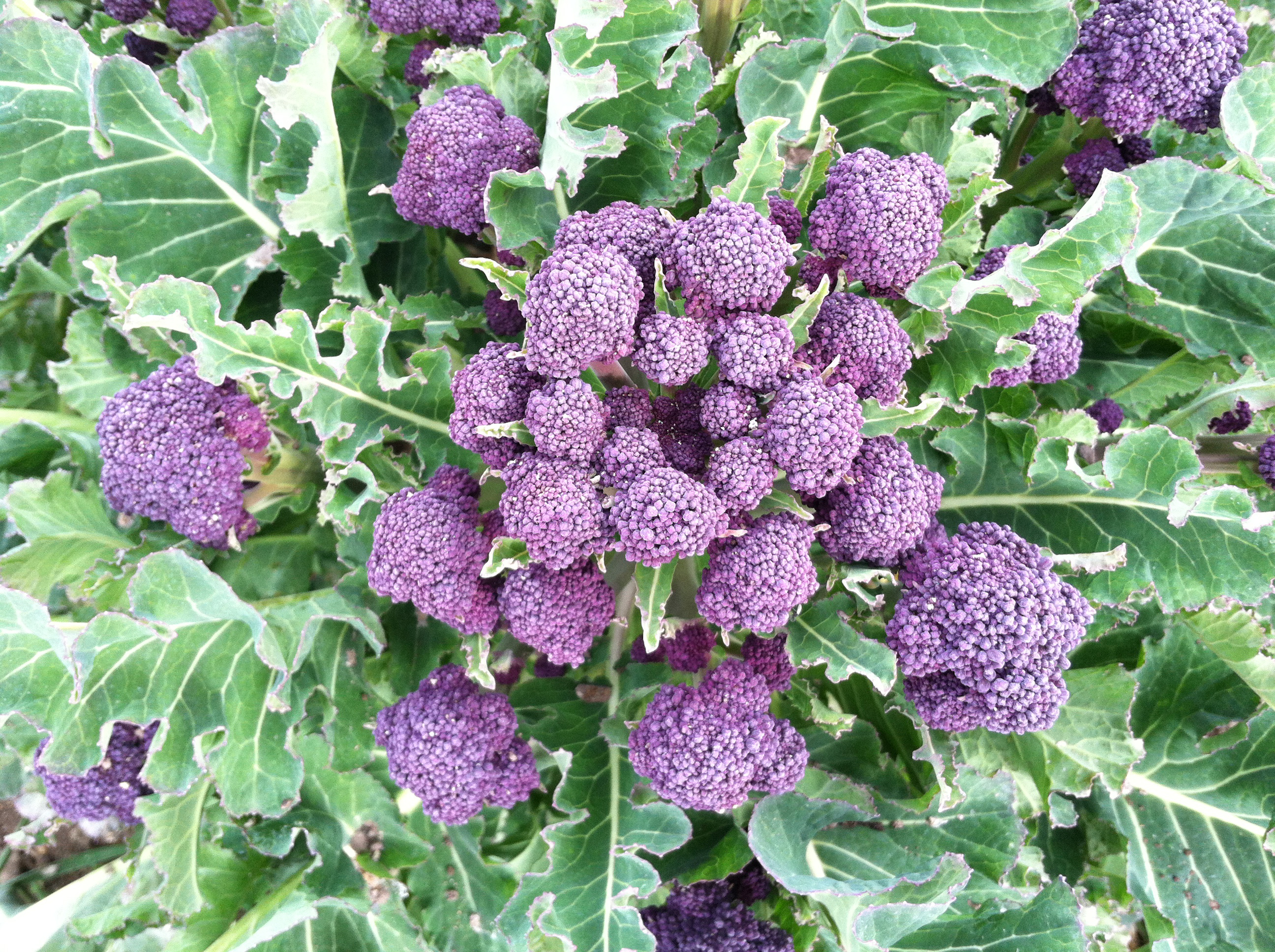 Purple Sprouting Broccoli Now In Season