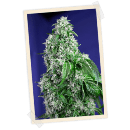 Big Devil FAST Feminized Seeds (Sweet Seeds)