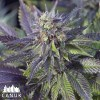 Blue Widow Feminized Seeds (Canuk Seeds) - ELITE STRAIN