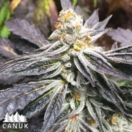 Cement Shoes Feminized Seeds (Canuk Seeds) – ELITE STRAIN