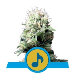 Dance World Feminized Seeds (Royal Queen Seeds)