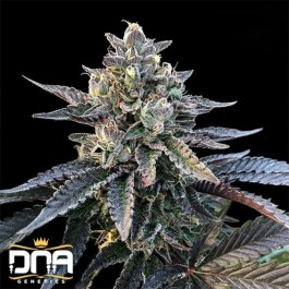 Gelato Sorbet FEMINIZED Seeds (DNA Genetics - Sorbet Collection)