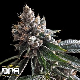 Golden Lemons FEMINIZED Seeds (DNA Genetics)