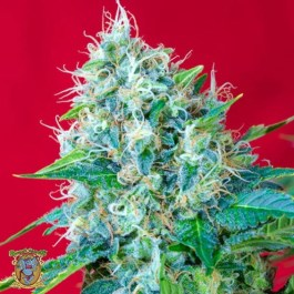 Green Poison Feminized Seeds (Sweet Seeds)