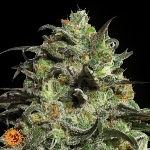 Peyote Cookies feminized