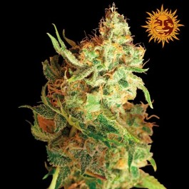 Red Dragon Feminized Seeds (Barney's Farm)