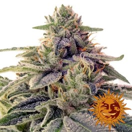 Shiskaberry Feminized Seeds (Barney's Farm)