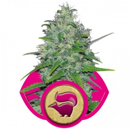 Skunk XL Feminized Seeds (Royal Queen Seeds)