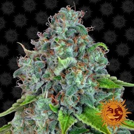 Strawberry Lemonade Feminized Seeds (Barney's Farm)