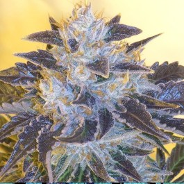 Grape OG FEMINIZED Seeds (Cali Connection)