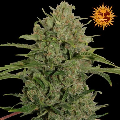Triple Cheese Feminized Seeds Amazing (Barney's Farm)1