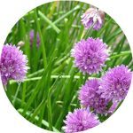 seedball flower chives