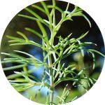 seedball flower dill