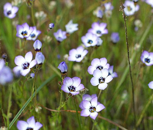 Birds Eye Seeds Gilia Tricolor