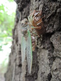 Cicada shortly after emerging from its exoskeleton.