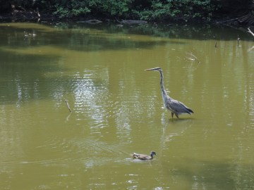 A duck and a heron.