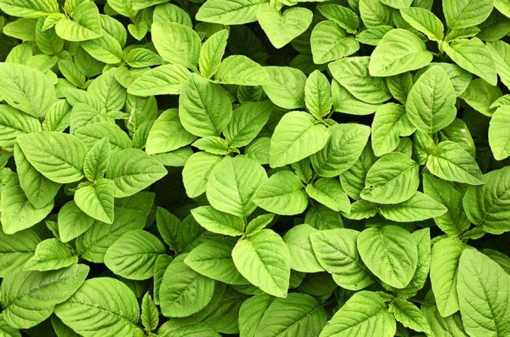 Amaranth Green