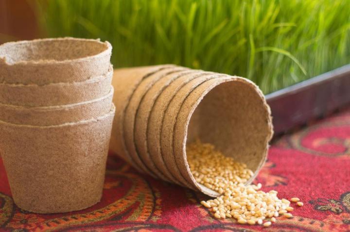 Barley Grass Microgreen Seeds - Wholesome Supplies