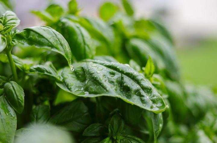 Basil Genovese Herb Seeds - Wholesome Supplies
