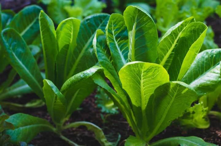 Lettuce Romaine Cos