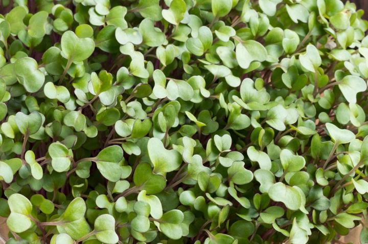 Kale Microgreens