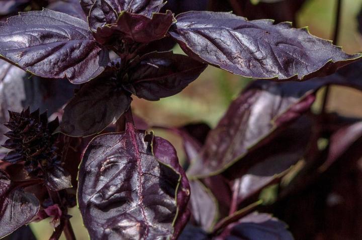 Basil Purple Leaf Microgreen Seeds - Wholesome Supplies