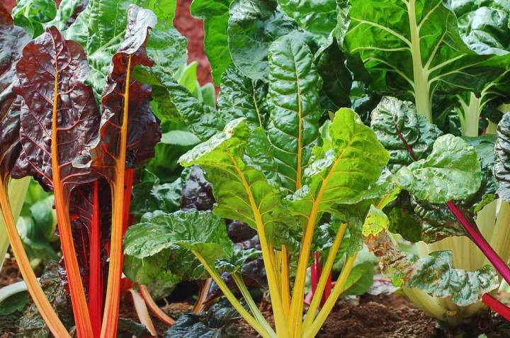 Silverbeet Rainbow Chard Seeds - Wholesome Supplies