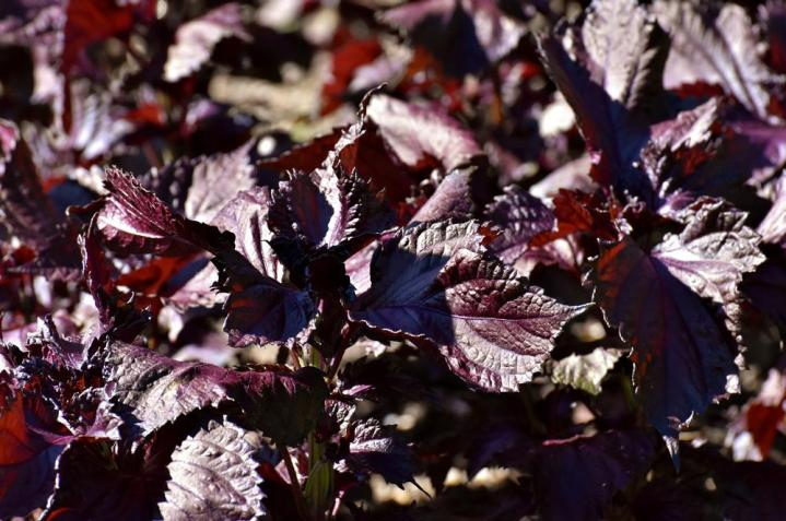 Shiso Red (Perilla) Microgreen Seeds - Wholesome Supplies