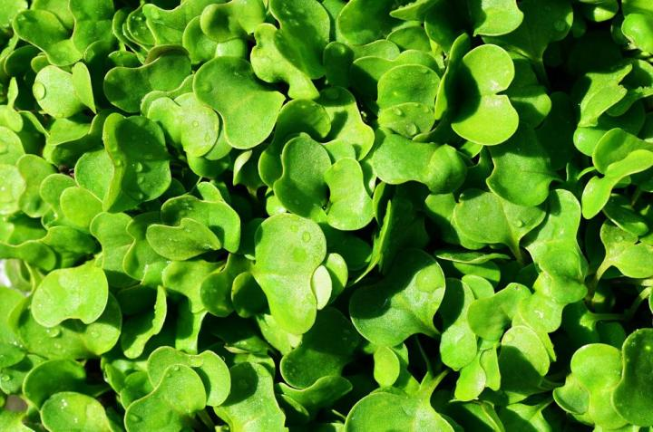 Rocket Microgreen Seeds - Wholesome Supplies