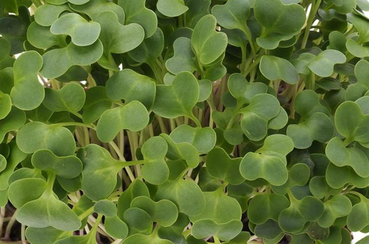 Tatsoi Microgreen Seeds - Wholesome Supplies