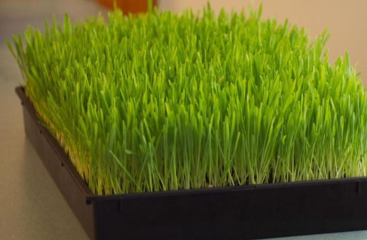 Wheatgrass Seeds Microgreens - Wholesome Supplies