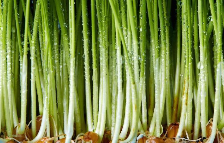 Wheatgrass Seeds Microgreens - Wholesome Supplies