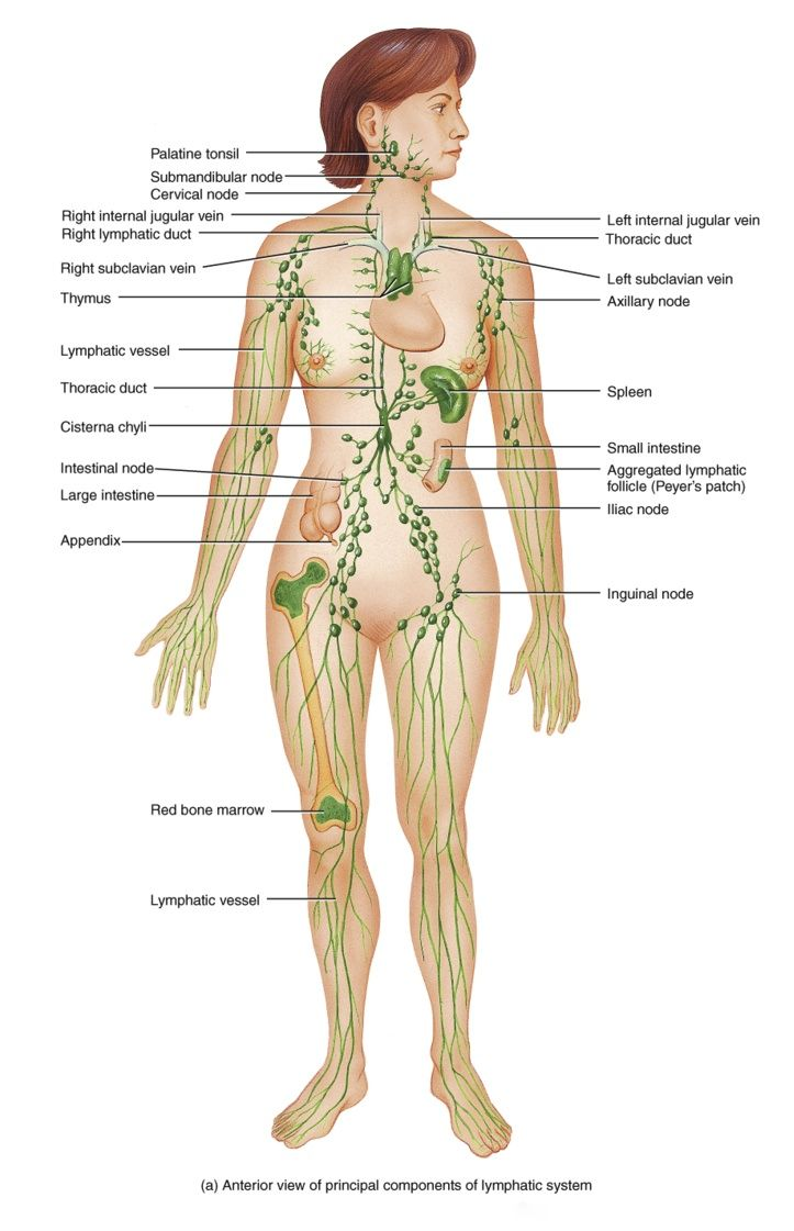 Lymphatic System Vesslels Ducts Organs for Lymphatic Enhancement Therapy