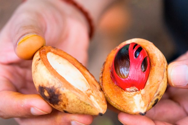 a farmer shows an open nutmeg tree with the seed (nutmeg) wrapped by the aril (mace)